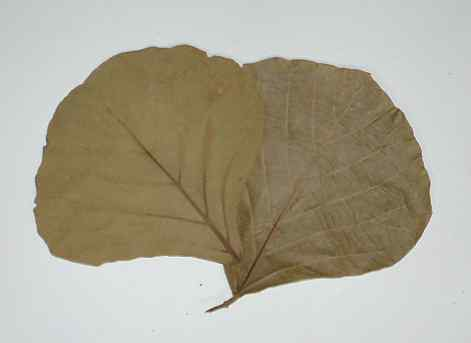 COBRA LEAF (NATURAL)