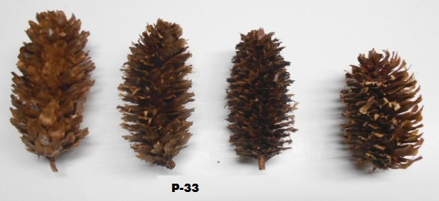 SITKA SPRUCE CONE BY LB APPX
