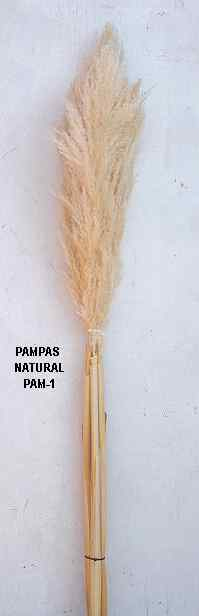 PAMPAS PLUMES, SPANISH GIANT 5FT