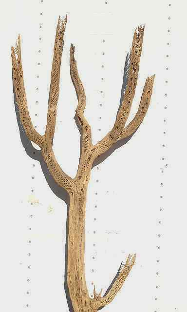 CHOLLA BRANCHY SANDBLASTED LARGE DIAMETER