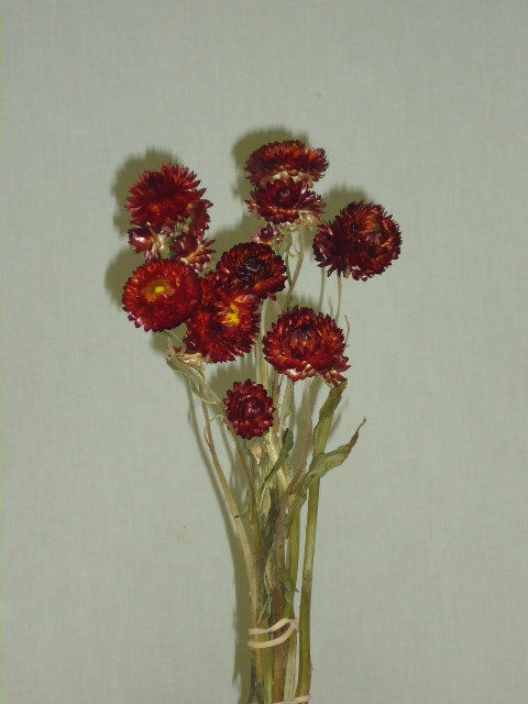 STRAW FLOWERS- RED